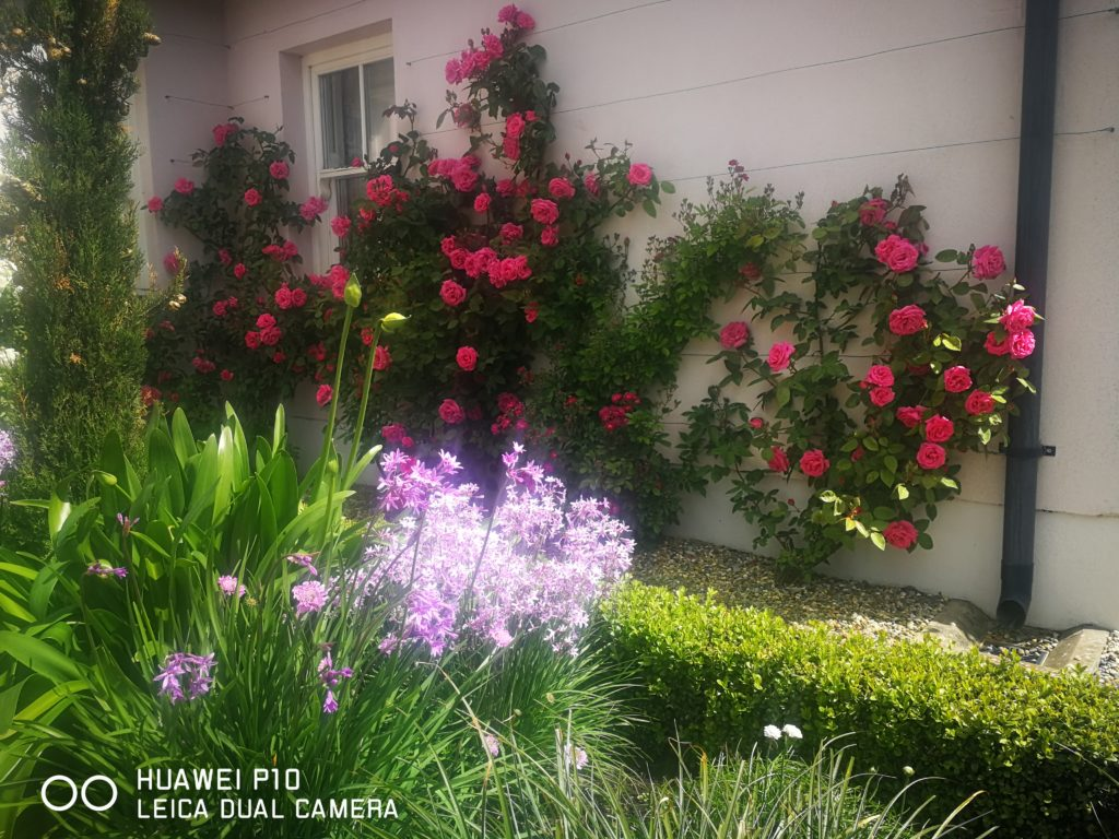The little known Tulblaghia off setting... A Fine Display of Roses