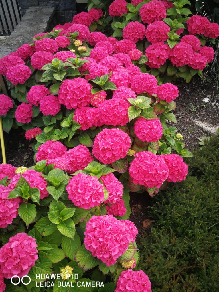 Stunning Pink Hydrangea excelling in a shaded garden