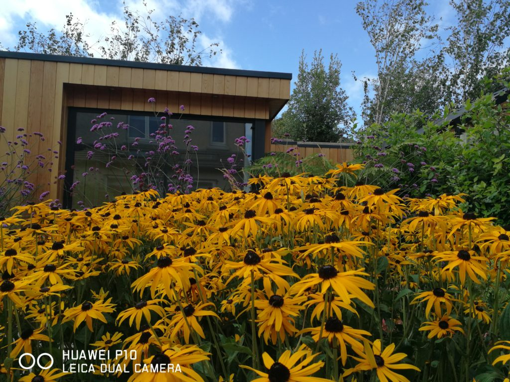 """You Can't Beat.... """"Rudbeckia Goldstrum""""  .. . for an Autumn Diplay..... This Batch was planted 3 years ago..... And has been meticulously watered and Fed... The Result speaks for itself..."""