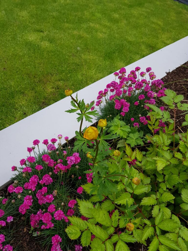 Hard Work... = Great Results...  This is a Semi Shade Garden...  With....   Trollius just buddding up in yellow accompanied by Armerias in Pink.. . And Off Set By Astilbe...